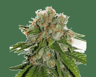 amnesia-seedstockers