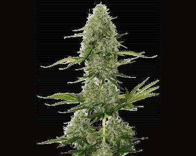 bcn-critical-xxl-auto-seedstockers