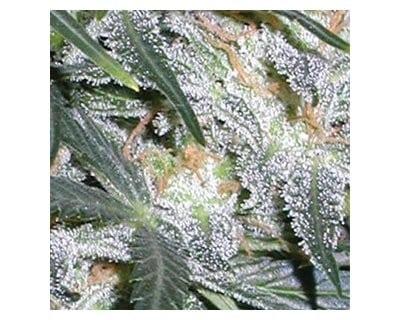 vision-seeds-lowryder-autoflower-zaden